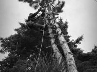 pílenie borovice